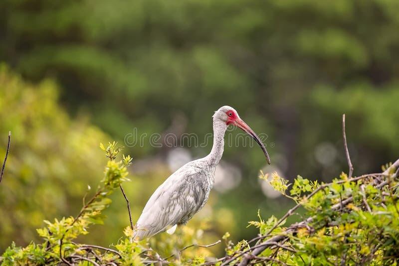 Ibis blanco en Hilton Head Island fotos de archivo libres de regalías