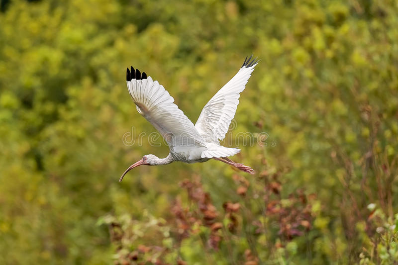 Ibis blanco en Hilton Head Island fotografía de archivo libre de regalías