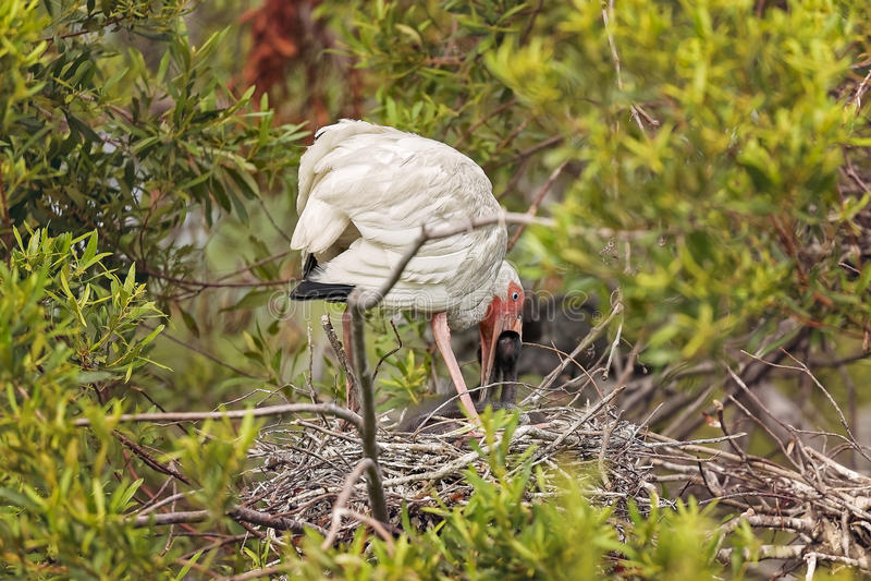 Ibis blanco en Hilton Head Island foto de archivo