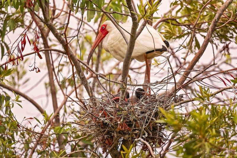 Ibis blanco en Hilton Head Island imágenes de archivo libres de regalías