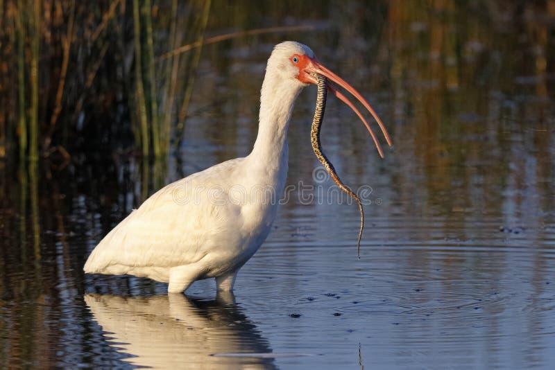Ibis blanco que come una serpiente de agua recién pescada de la Florida - Merritt imágenes de archivo libres de regalías