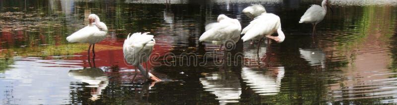 Ibis blanco que se baña fotografía de archivo
