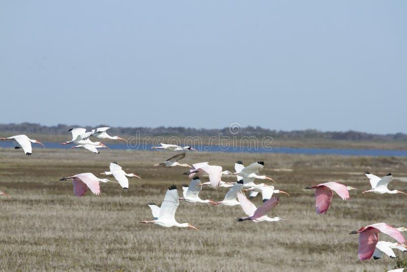 Ibis blanco y rosado fotos de archivo libres de regalías