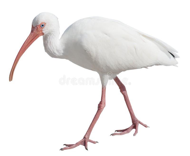 Ibis branco imagem de stock
