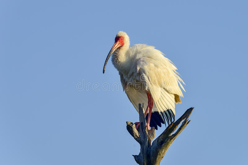 Ibis branco americano foto de stock royalty free