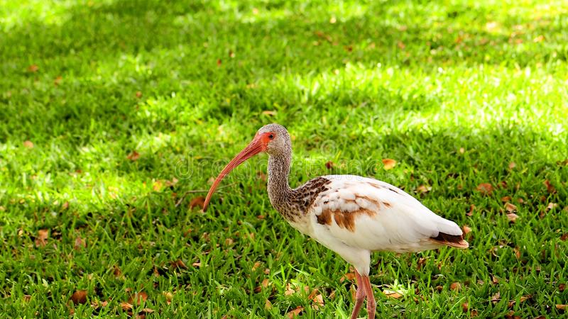 Ibis branco juvenil imagens de stock royalty free
