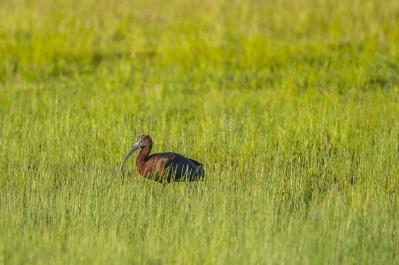 IBIS brillant adulte dans le domaine de l'herbe image stock