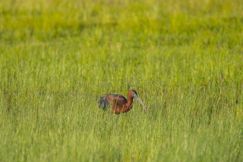IBIS brillant adulte forageant dans un domaine photographie stock