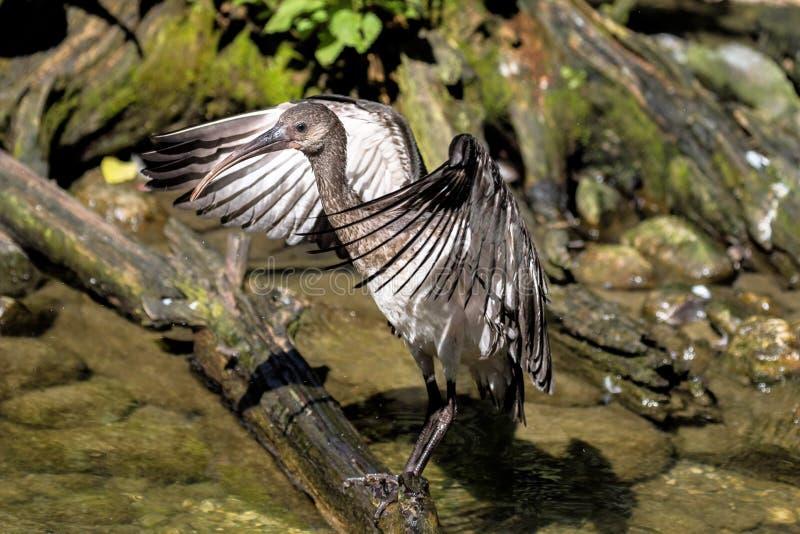 IBIS brillant, falcinellus de Plegadis dans un zoo allemand images stock