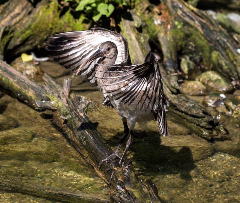 IBIS brillant, falcinellus de Plegadis dans un zoo allemand images libres de droits