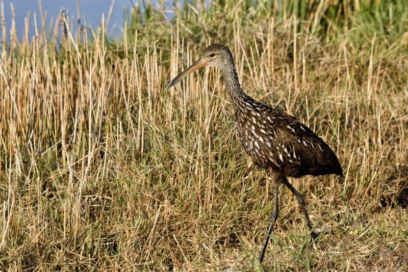 IBIS brillant pataugeant l'oiseau photo libre de droits