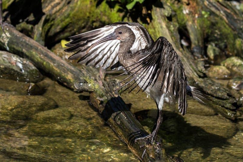 Ibis brillante, falcinellus de Plegadis en un parque zool?gico alem?n fotografía de archivo libre de regalías
