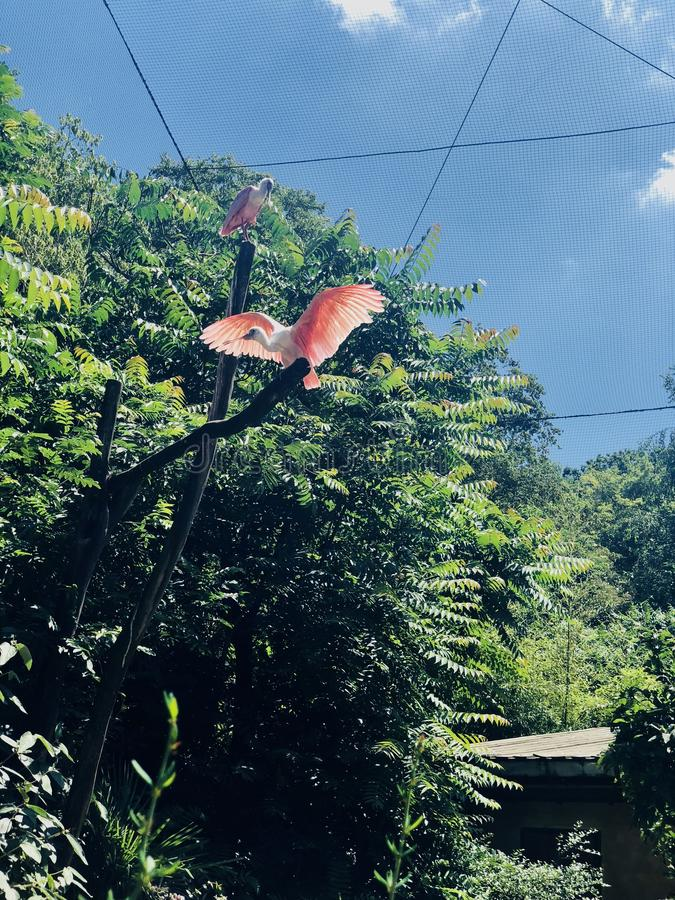 Ibis cor-de-rosa imagens de stock