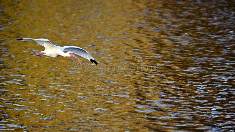 Ibis flying over a lake. stock images