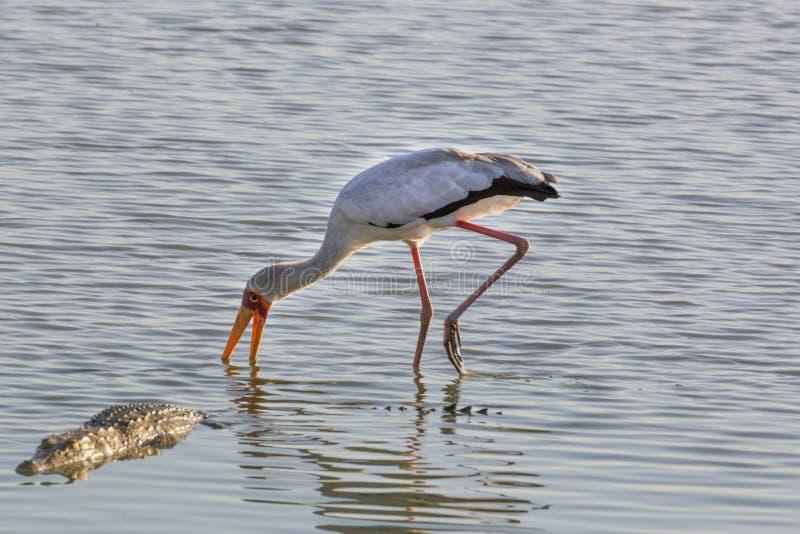 Ibis ibis und Krokodil, Selous-Spiel-Reserve, Tansania lizenzfreies stockfoto