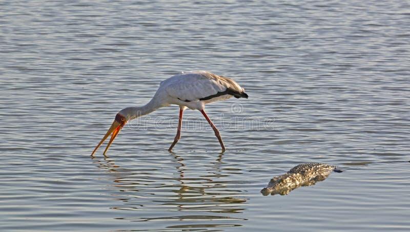 Ibis ibis und Krokodil, Selous-Spiel-Reserve, Tansania lizenzfreie stockfotos