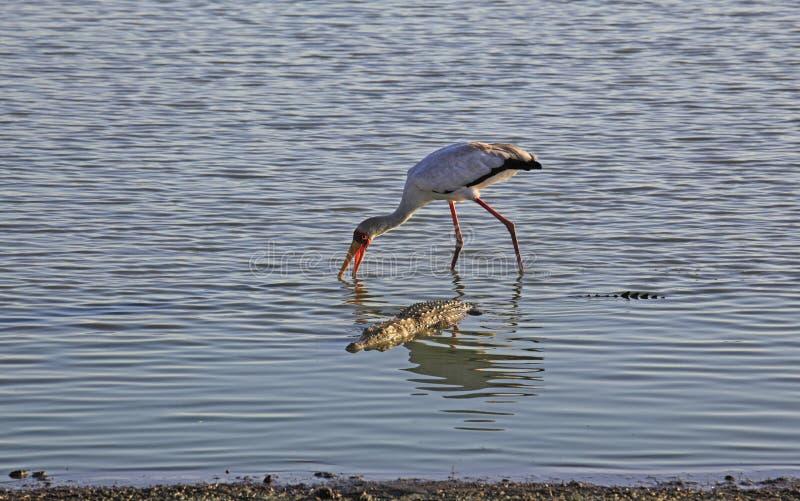 Ibis ibis und Krokodil, Selous-Spiel-Reserve, Tansania stockfotos
