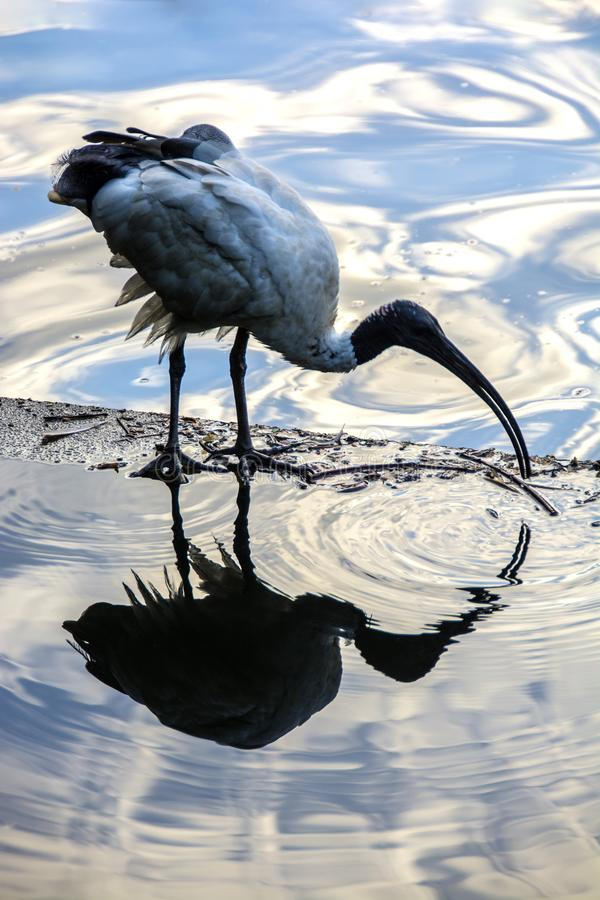 Ibis on a Reflection Pond stock photography