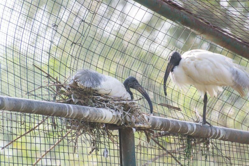 Ibis Oosterse Witte Ibis met zwarte kop royalty-vrije stock fotografie