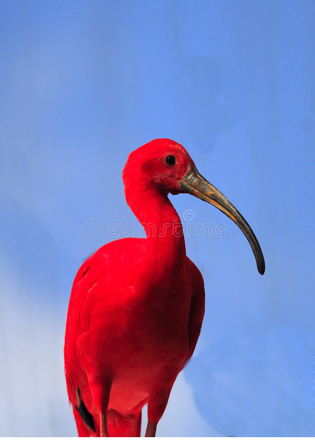 ibis red royaltyfri foto