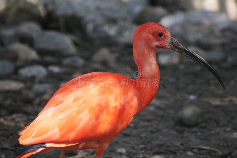 ibis red arkivfoto
