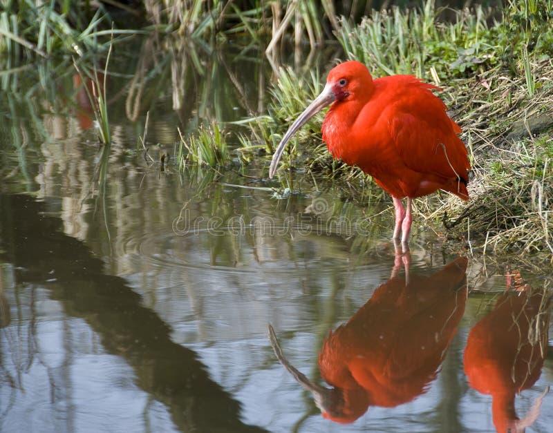 Ibis rojo fotos de archivo libres de regalías