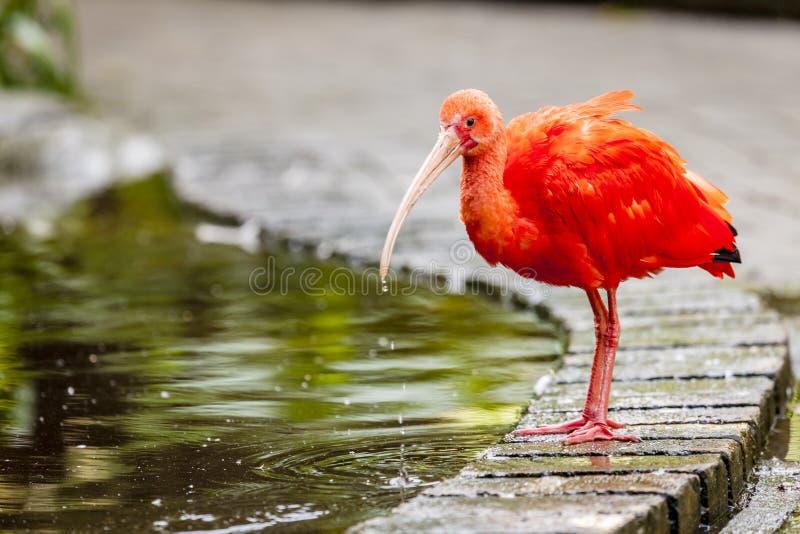 Ibis rosso immagine stock