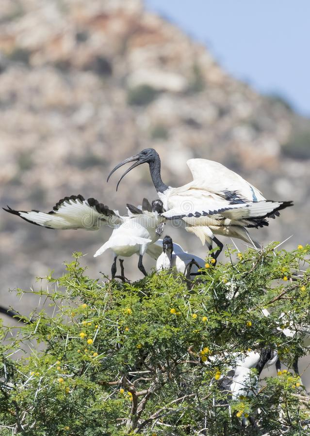 IBIS sacré africain, aethiopicus de Threskiornis, alimentant deux jeunes photographie stock