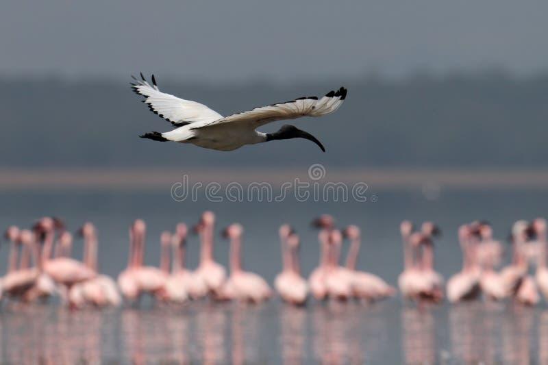 Download Ibis Sacred Flies Over The Lake Stock Photo - Image: 15610134