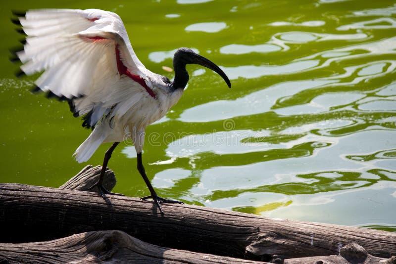 Ibis sacro del Madagascar fotografia stock libera da diritti