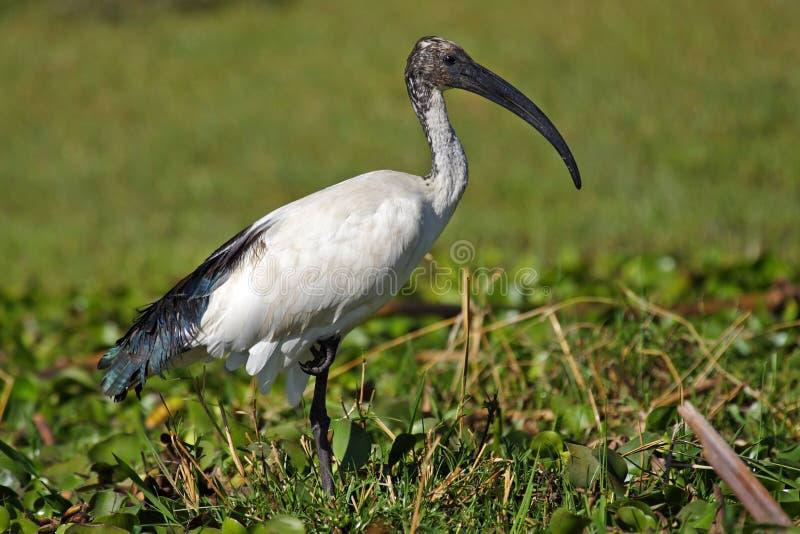 Ibis sacro, Kenia, Africa orientale fotografia stock