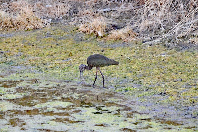 An Ibis searching for food at Lower Klamath Fall stock image