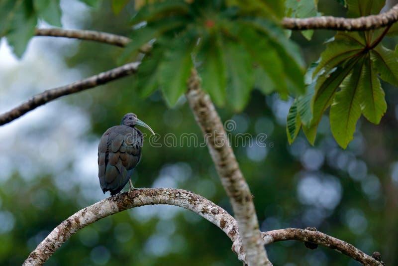 Ibis verde, cayennensis di Mesembrinibis, ibis di Caienna che si siede sull'albero Uccello nell'habitat Scena della fauna selvati immagini stock