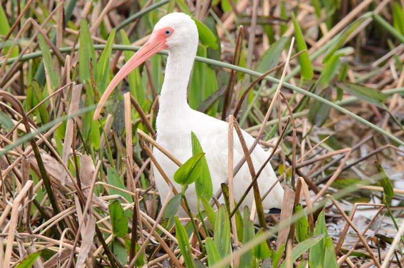 Ibis w Floryda zdjęcie royalty free