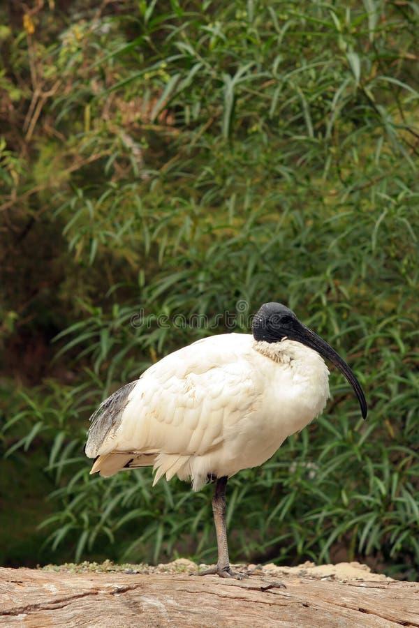 ibis white arkivfoton