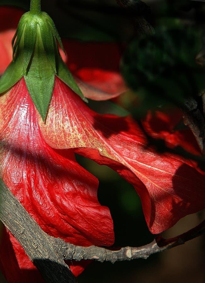 Download Ibisco fotografia stock. Immagine di ombra, osservare, backside - 203830