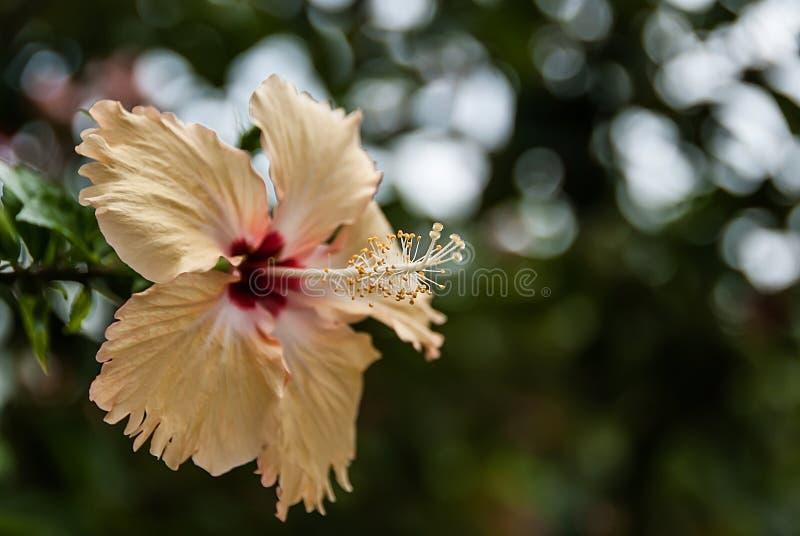 ibisco fotografie stock