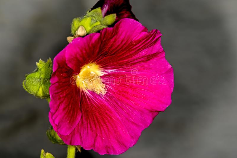 Ibisco, fiore della pianta medicinale fotografia stock