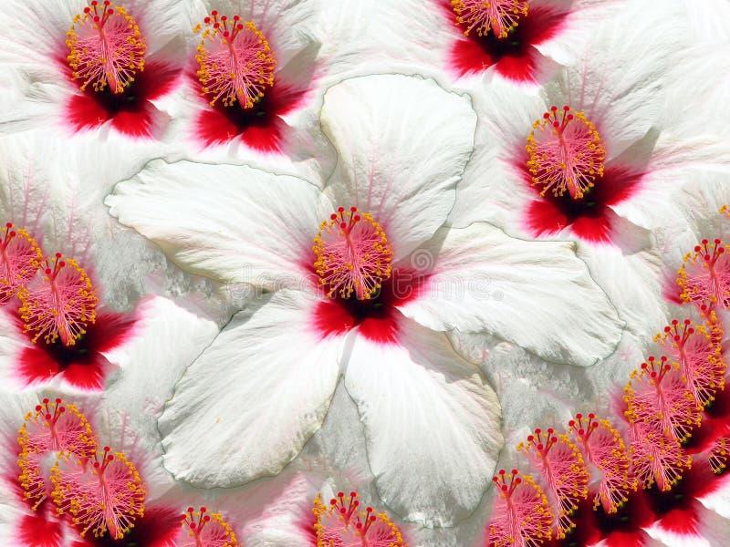 Ibisco Rosa illustrazione di stock