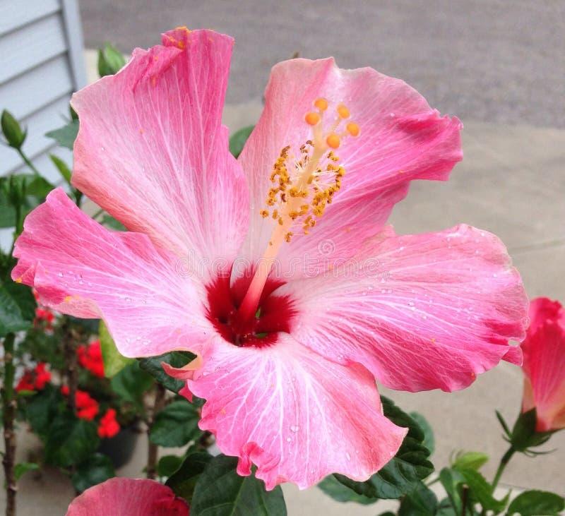 Ibisco rosa immagini stock libere da diritti