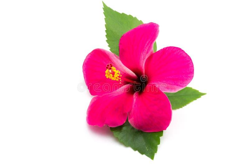 Ibisco rosa su fondo bianco fotografia stock libera da diritti
