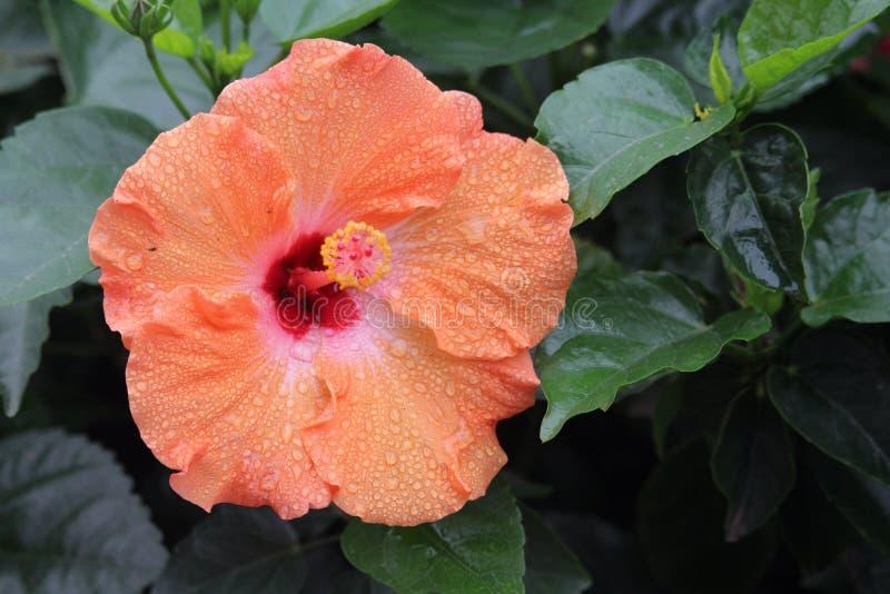 Ibisco rosato-arancio bagnato immagini stock