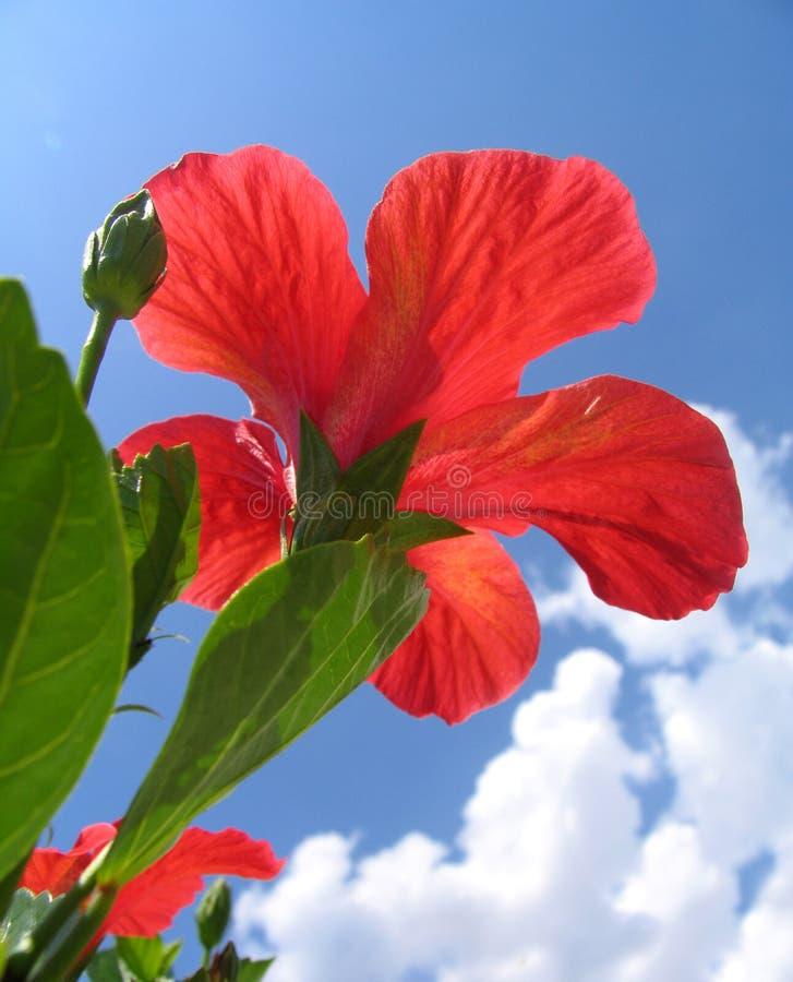 Download Ibisco rosso fotografia stock. Immagine di verde, fine - 222954