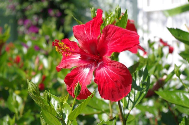Download Ibisco rosso immagine stock. Immagine di scarlet, colorful - 56880331