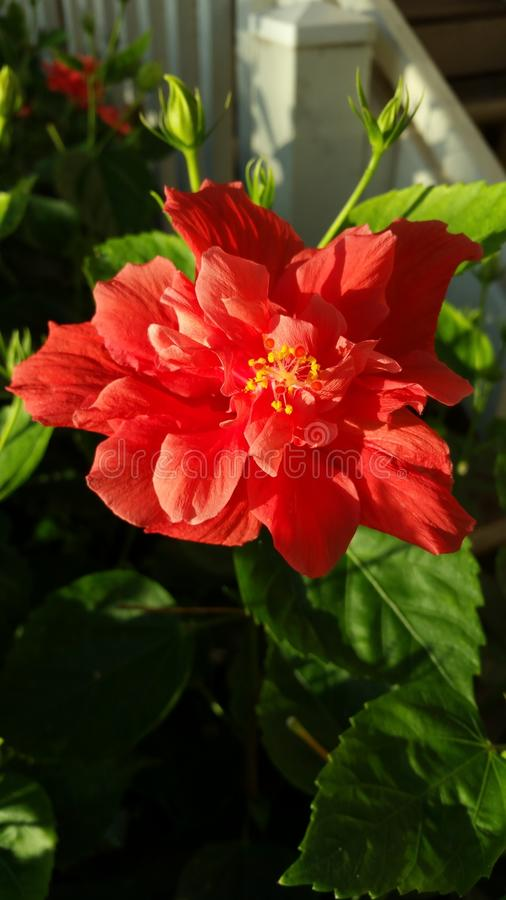 Ibisco rosso in Hawai fotografie stock