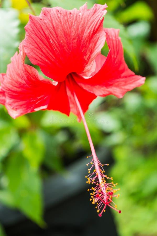 Ibisco rosso Rosa Sinensis con backgournd vago verde fotografia stock