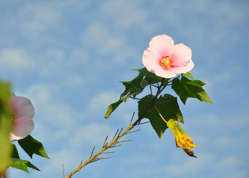 Ibisco tropicale immagini stock libere da diritti