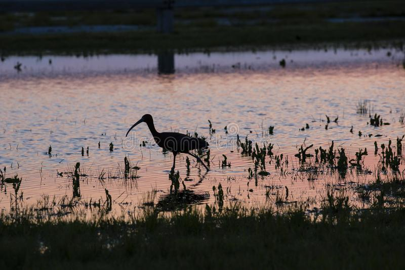 Ibissilhouet die in Water bij Roze Zonsondergang lopen royalty-vrije stock foto's