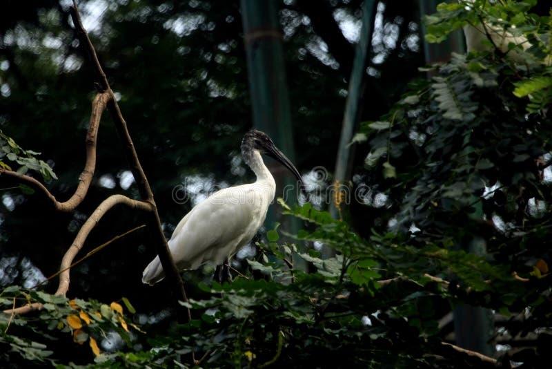 Ibisvogel met zwarte kop in Indisch bos stock afbeeldingen