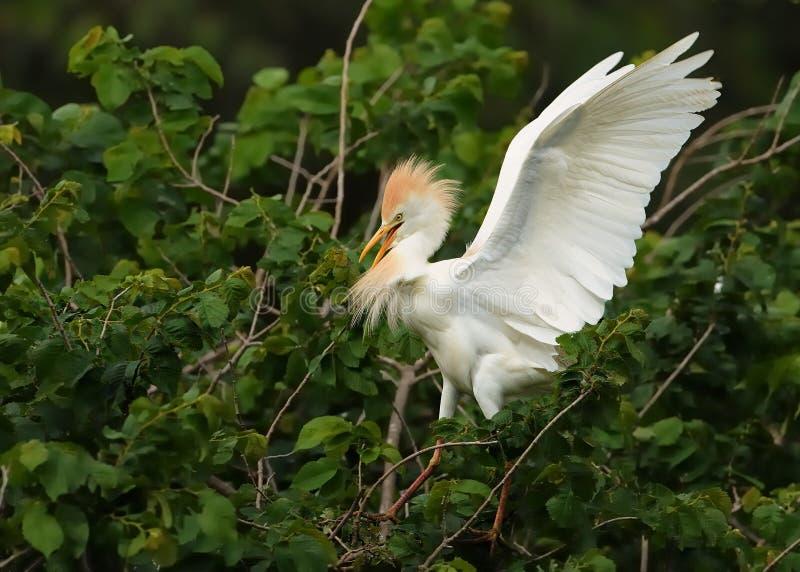 Ibits för bubulcusen för nötkreaturägretthägret sätta sig på en stjälk av vassen och att vifta med dess vingar Beuatiful vit ägre royaltyfri foto